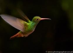 Hummingbird 2015-23copyright-photographers-on-safari-com