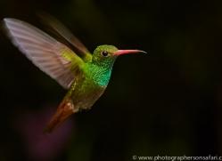 Hummingbird 2015-25copyright-photographers-on-safari-com