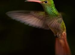 Hummingbird 2015-29copyright-photographers-on-safari-com
