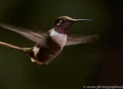 Hummingbird 2015-36copyright-photographers-on-safari-com