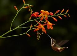 Hummingbird 2015-38copyright-photographers-on-safari-com