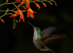 Hummingbird 2015-40copyright-photographers-on-safari-com