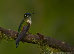 Hummingbird 2015-5copyright-photographers-on-safari-com