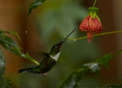 Hummingbird 2015-7copyright-photographers-on-safari-com