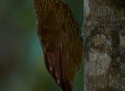 Wide Billed Treecreeper 2015-1copyright-photographers-on-safari-com