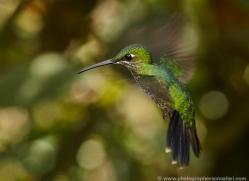 hummingbird-ecuador-1913-copyright-photographers-on-safari-com