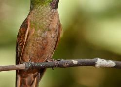 hummingbird-ecuador-1914-copyright-photographers-on-safari-com