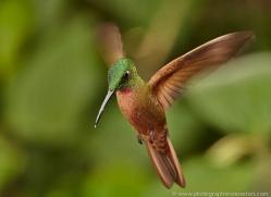 hummingbird-ecuador-1916-copyright-photographers-on-safari-com