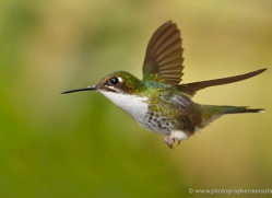 hummingbird-ecuador-1918-copyright-photographers-on-safari-com