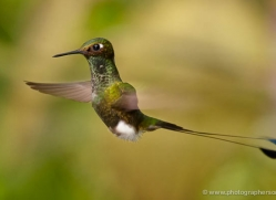 hummingbird-ecuador-1919-copyright-photographers-on-safari-com
