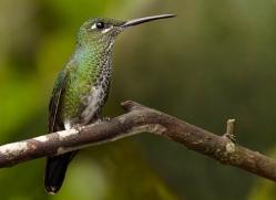 hummingbird-ecuador-1920-copyright-photographers-on-safari-com