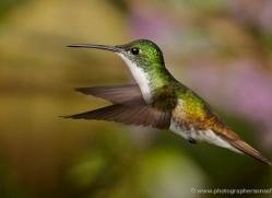 hummingbird-ecuador-1922-copyright-photographers-on-safari-com