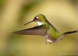 hummingbird-ecuador-1924-copyright-photographers-on-safari-com