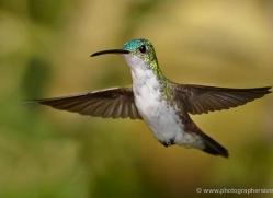 hummingbird-ecuador-1925-copyright-photographers-on-safari-com