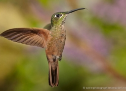 hummingbird-ecuador-1926-copyright-photographers-on-safari-com