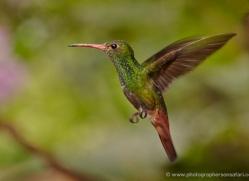 hummingbird-ecuador-1930-copyright-photographers-on-safari-com