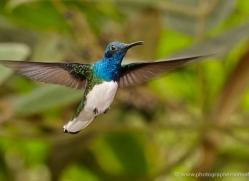 hummingbird-ecuador-1931-copyright-photographers-on-safari-com