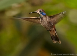 hummingbird-ecuador-1935-copyright-photographers-on-safari-com