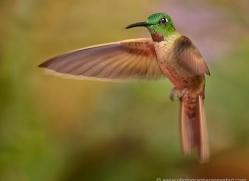 hummingbird-ecuador-1936-copyright-photographers-on-safari-com