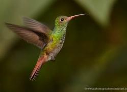 hummingbird-ecuador-1937-copyright-photographers-on-safari-com