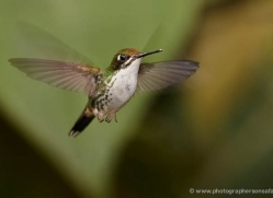 hummingbird-ecuador-1938-copyright-photographers-on-safari-com