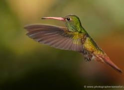 hummingbird-ecuador-1941-copyright-photographers-on-safari-com