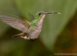 hummingbird-ecuador-1943-copyright-photographers-on-safari-com