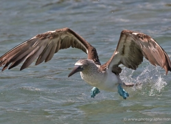 blue-footed-booby-1838-galapagos-copyright-photographers-on-safari-com