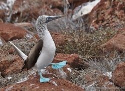 blue-footed-booby-1839-galapagos-copyright-photographers-on-safari-com