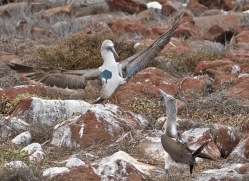 blue-footed-booby-1840-galapagos-copyright-photographers-on-safari-com