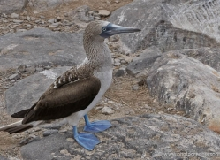 blue-footed-booby-1842-galapagos-copyright-photographers-on-safari-com