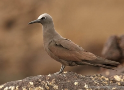 brown-noddy-1873-galapagos-copyright-photographers-on-safari-com