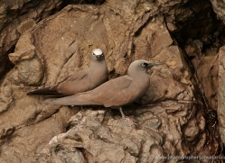 brown-noddy-1874-galapagos-copyright-photographers-on-safari-com