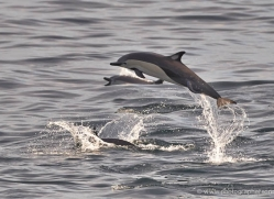 dolphin-1819-galapagos-copyright-photographers-on-safari-com