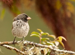 finch-1906-galapagos-copyright-photographers-on-safari-com