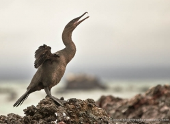 flightless-cormorant-1826-galapagos-copyright-photographers-on-safari-com