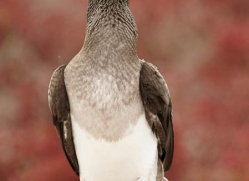 blue-footed-booby-1834-galapagos-copyright-photographers-on-safari-com