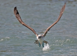 blue-footed-booby-1837-galapagos-copyright-photographers-on-safari-com