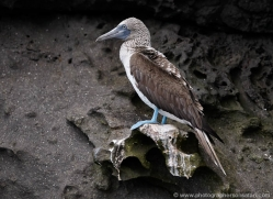 blue-footed-booby-1841-galapagos-copyright-photographers-on-safari-com