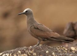 brown-noddy-1873-galapagos-copyright-photographers-on-safari-com