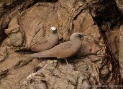 brown-noddy-1874-galapagos-copyright-photographers-on-safari-com