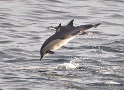 dolphin-1820-galapagos-copyright-photographers-on-safari-com