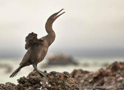 flightless-cormorant-1826-galapagos-copyright-photographers-on-safari-com
