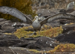 Albatross 2015 -1copyright-photographers-on-safari-com