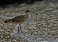 Curlew 2015 -1copyright-photographers-on-safari-com