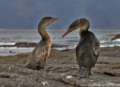 Flightless Cormorant 2015 -1copyright-photographers-on-safari-com