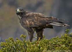 Galapagos Hawk 2015 -1copyright-photographers-on-safari-com
