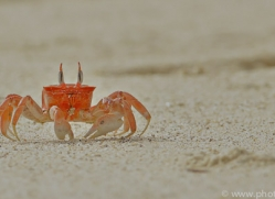 Ghost Crab 2015 -1copyright-photographers-on-safari-com