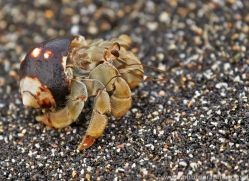 Hermit Crab 2015 -1copyright-photographers-on-safari-com