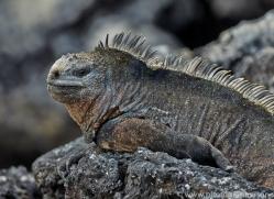 Iguana 2015 -11copyright-photographers-on-safari-com